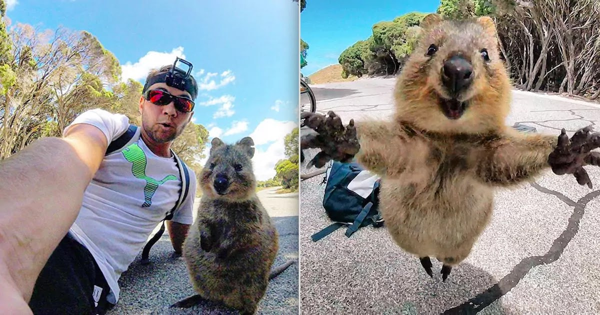 Cyclist Captures Epic Selfies With Quokka That Wouldn't Leave His Side